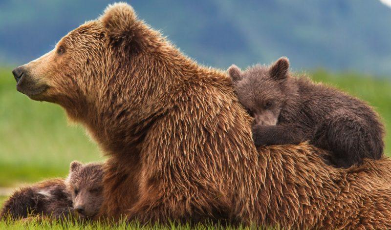 L'orsa Daniza e il marketing territoriale del Trentino